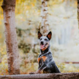 pies australian cattle dog w lesie